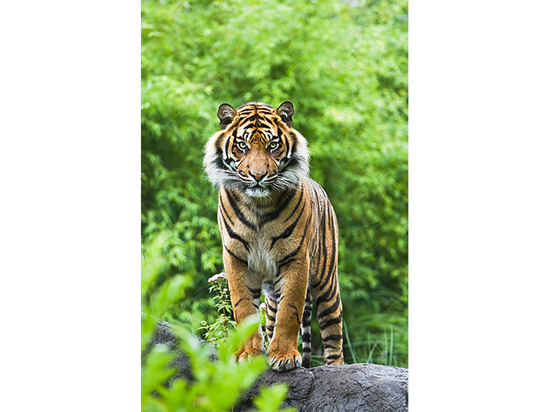 Встреча с тигром 2457