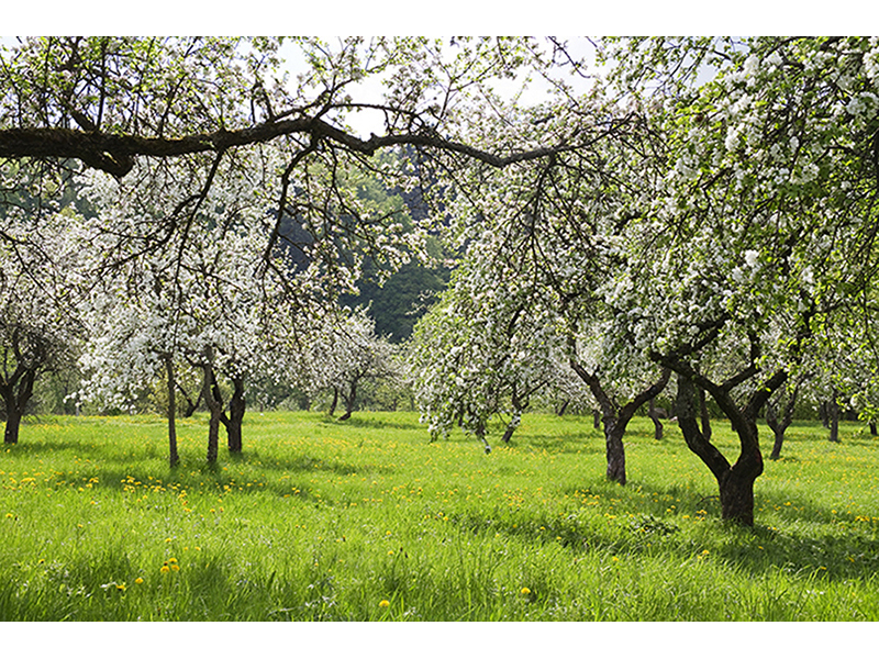 Яблочный сад весной 1002