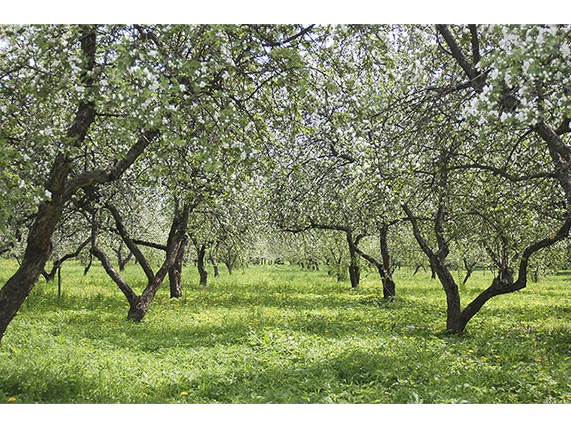 Яблочный сад 1003