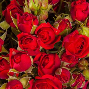 Яркие красные розы