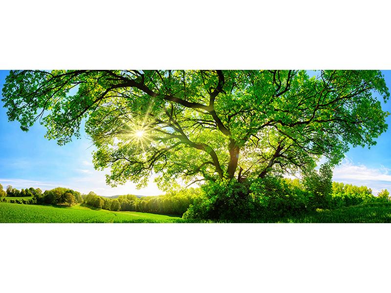 Зеленый дуб 1685