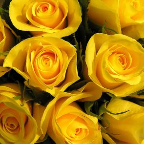 Желтые розы 2