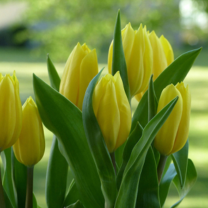 Желтые тюльпаны 2